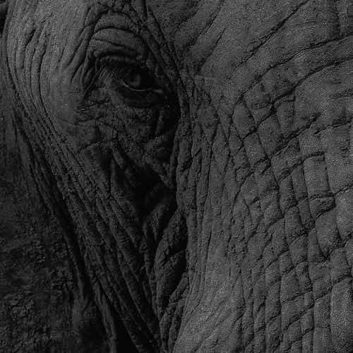 elephant eye animal nature