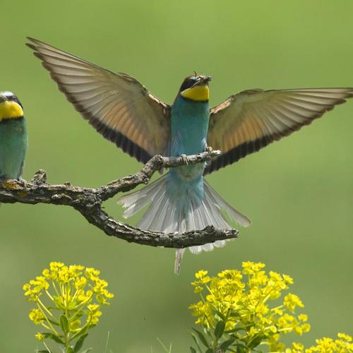 European Bee-eaters wallpaper