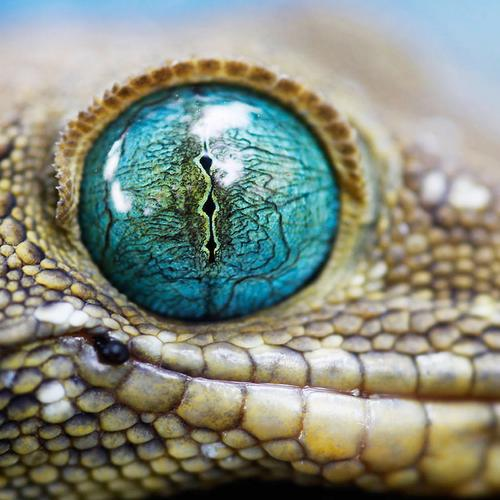 Eye of the croc tapet