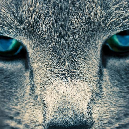 Eyes of the wild cat wallpaper
