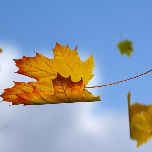Falling leaves in blue sky wallpaper