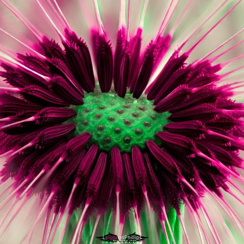 Fantastic purple dandelion wallpaper