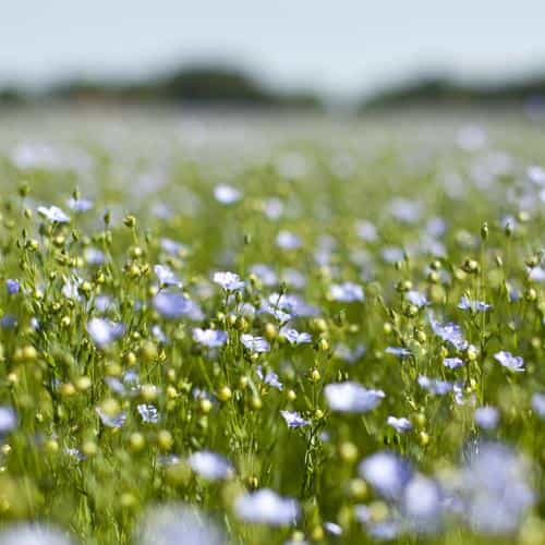 field green cosmos flower spring nature