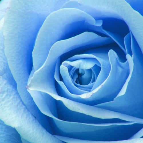 flower blue rose zoom love