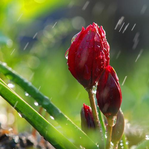 Flower buds rain wallpaper