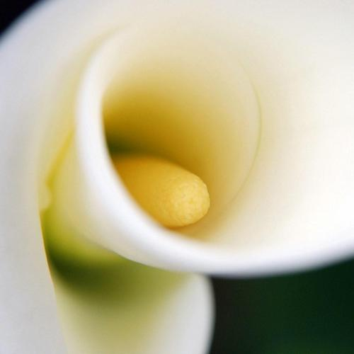 Flower calla close-up