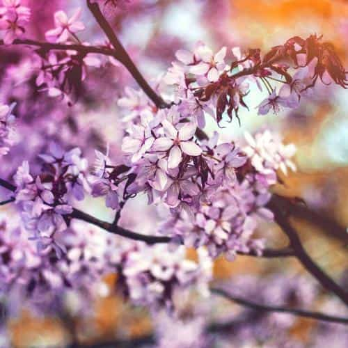 flower pink blue nature bokeh tree spring rainbow flare
