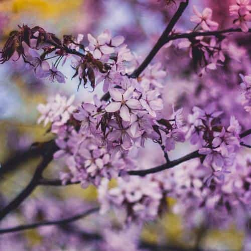 flower pink blue nature bokeh tree spring