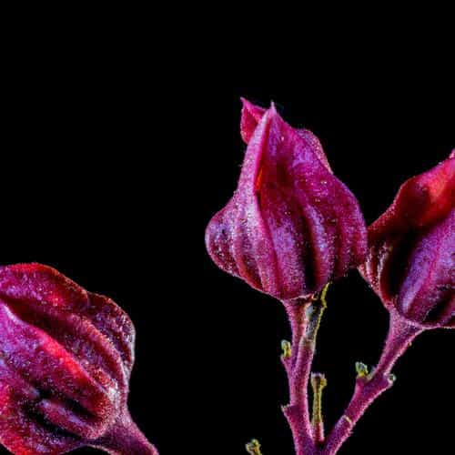 flower red dark art nature