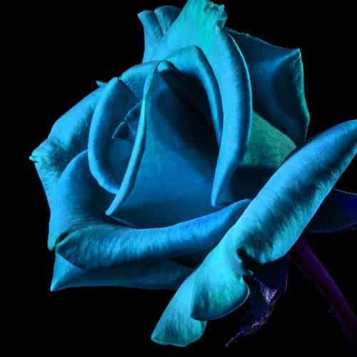 flower rose blue dark beautiful best nature