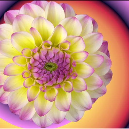 Flower Spiral Gradient wallpaper