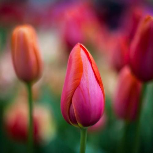 Flowers spring tulips bokeh wallpaper