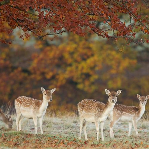 Four fawns in autumn wallpaper