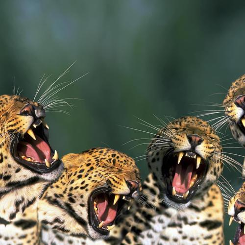 Four little jaguars roaring