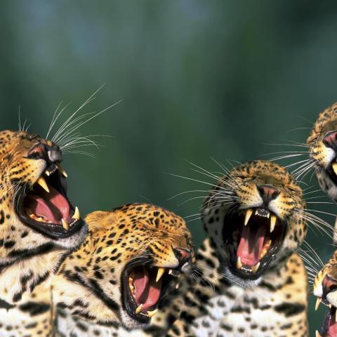 Four little jaguars roaring