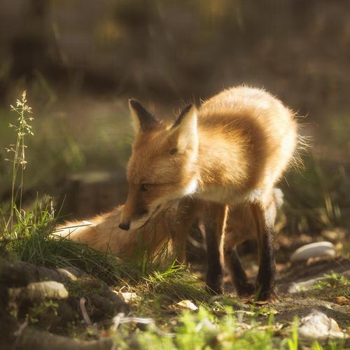 Fox smelling the grass