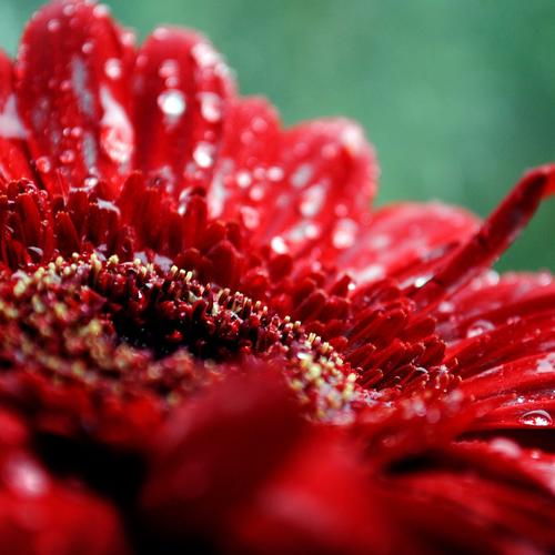 Fresh red flower with dew drops wallpaper