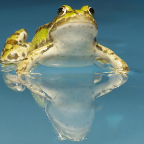 Frog in water wallpaper