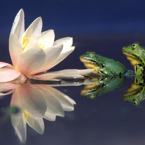 Frogs couple and lotus perfect reflection