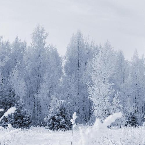 Frozen forest wallpaper