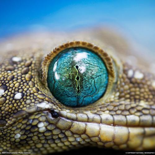 Gecko eyes wallpaper