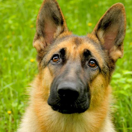 German Shepherd Dog in green grass wallpaper