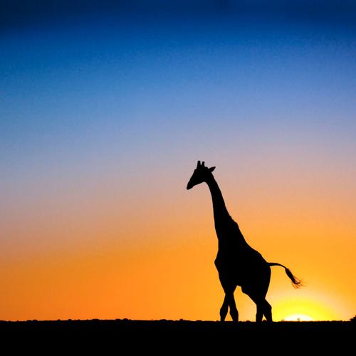 Giraffe in beautiful sunset