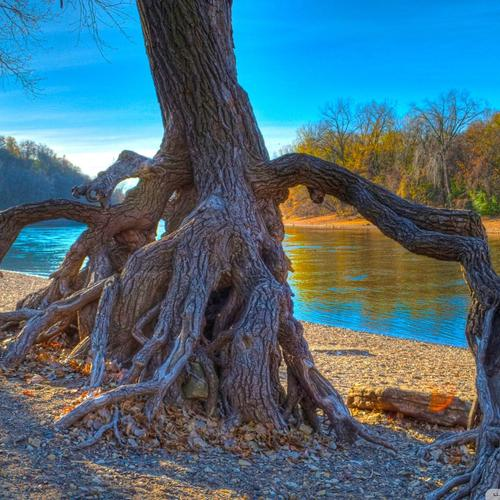 Gnarled tree root by the river Hdr