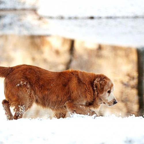 Golden Dog on the snow