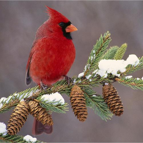 Gorgeous Male Cardinal in winter wallpaper