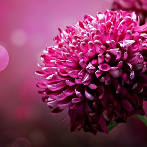 Gorgeous pink flower in macro shot wallpaper