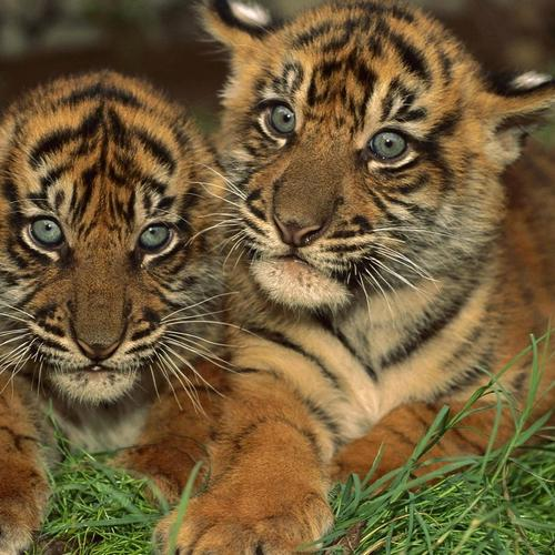 Gorgeous Sumatran Tiger Cubs