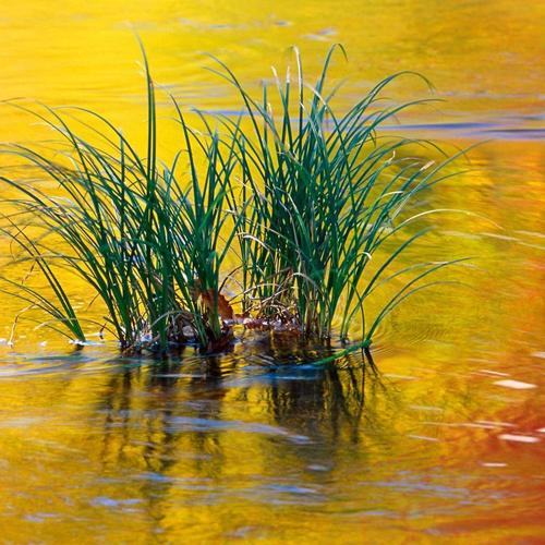 Grass In Golden Waters