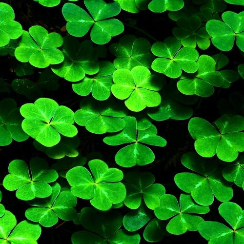 Green Clovers wallpaper