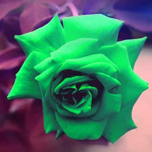 green rose nature flower wood love valentine flare