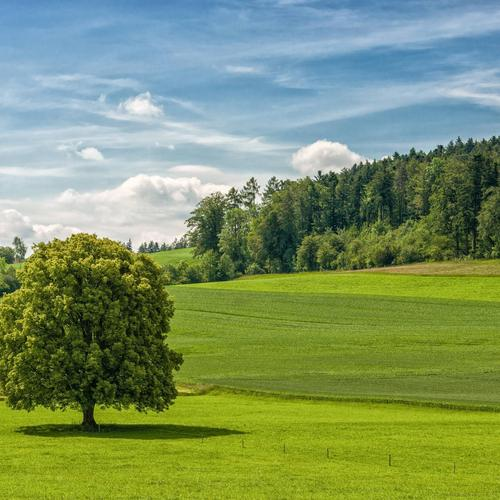 Green tree on the green field