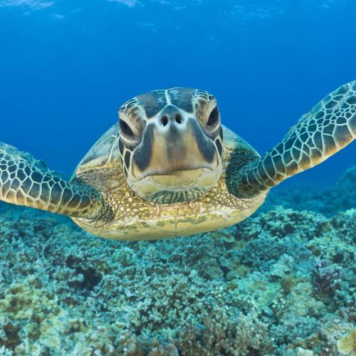 Green Turtle in Maui, Hawaii