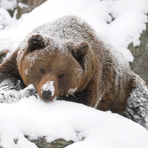 Grizzly bear playing with snow