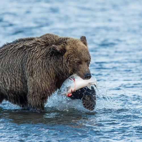 Grizzly hunting on river