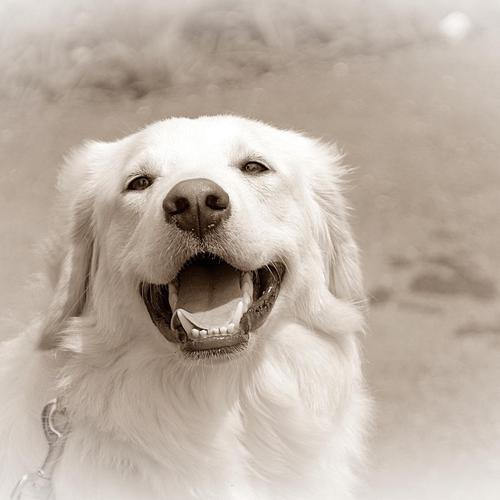 Happy white dog wallpaper