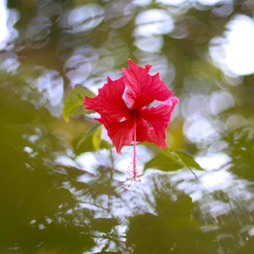 Hibiscus On The Water tapety na plochu