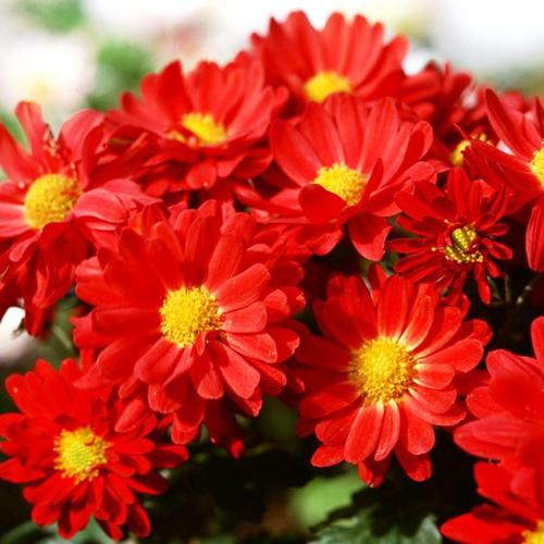 Hot Red Daisies wallpaper