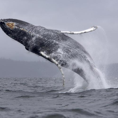 Humpback whale jumping wallpaper