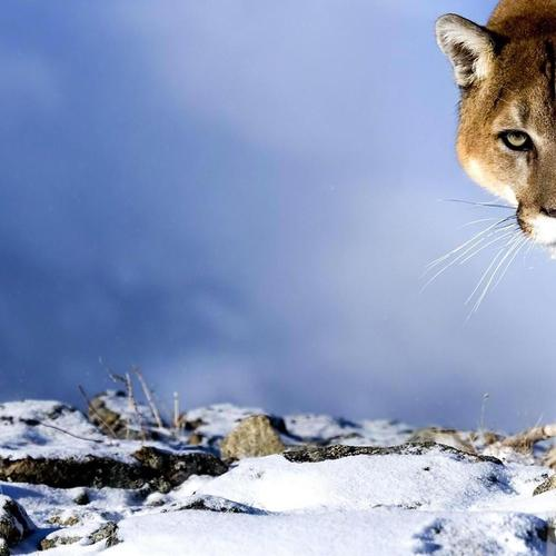 Hunting Cougar wallpaper