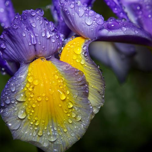 Iris flower wallpaper