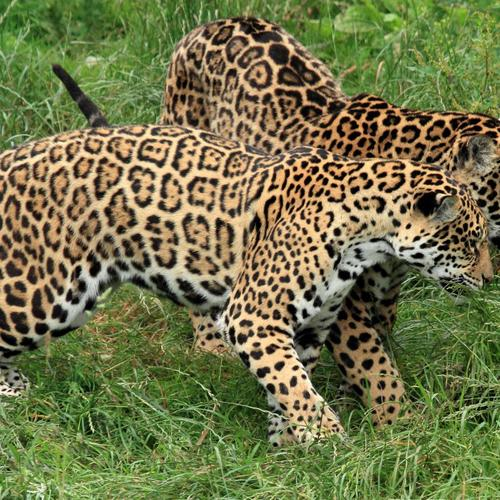 Jaguars couple on green grass