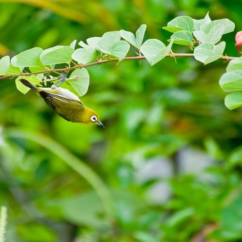 Japanese White-eye In Spring wallpaper