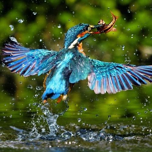 Kingfisher catching fish wallpaper