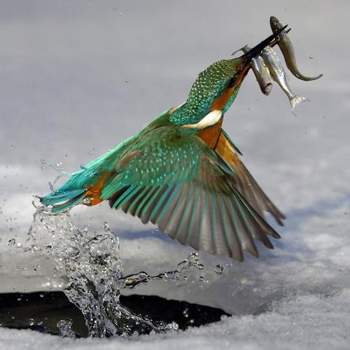 Kingfisher catching fishs wallpaper