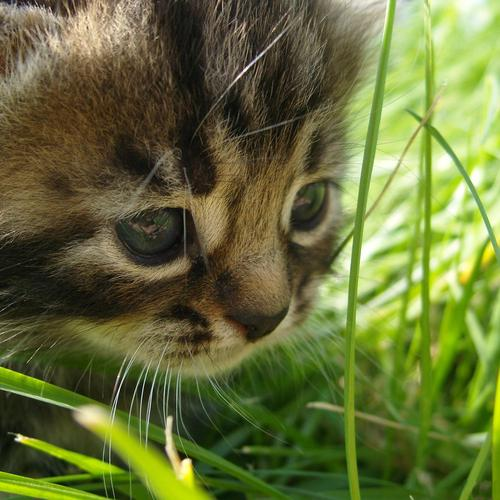 Kitten on the grass wallpaper